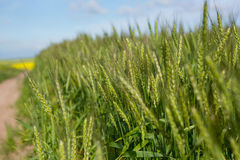 Sikt av det härliga vetefältet Arkivbild
