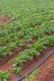 Sikt av det jordbruks- fältet med potatisodling, organiskt lantbruk royaltyfria foton