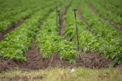 Sikt av det jordbruks- f?ltet med potatisodling, organiskt lantbruk royaltyfri fotografi