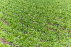Sikt av det jordbruks- f?ltet med potatisodling, organiskt lantbruk fotografering för bildbyråer