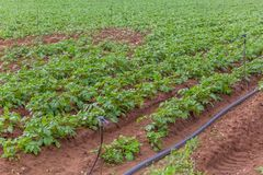 Sikt av det jordbruks- f?ltet med potatisodling, organiskt lantbruk royaltyfri foto