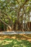 Sikt av det mycket gamla banyanträdet i en grön trädgård, Chennai, Indien, April 01 2017 Royaltyfria Bilder