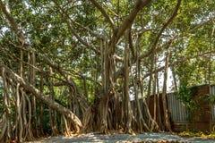 Sikt av det mycket gamla banyanträdet i en grön trädgård, Chennai, Indien, April 01 2017 Royaltyfri Bild