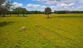 Sikt av djuren på stäpparna i löst beta på gräset mellan träden och palmträden under blå himmel Royaltyfria Bilder
