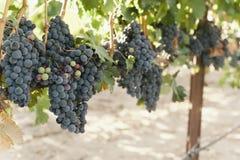 Sikt av druvor på en vinranka royaltyfri fotografi