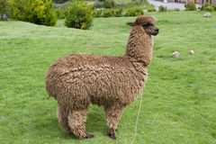 Sikt av en alpaca Arkivbilder
