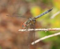 Sikt av en drakefluga på en pinne Royaltyfri Fotografi