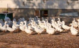 Sikt av en flock av den vita gåsen på en hönseri nära en byggnad royaltyfri foto