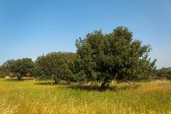 Sikt av en fruktträdgård för carobträd i ett fält Cypern Arkivfoton