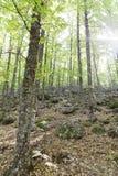 Sikt av in en gammal grön skog av kastanjebruna träd Arkivbilder