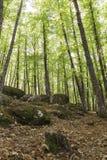 Sikt av in en gammal grön skog av kastanjebruna träd Royaltyfria Foton