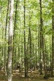 Sikt av in en gammal grön skog av kastanjebruna träd Arkivbild