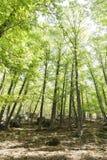Sikt av in en gammal grön skog av kastanjebruna träd Fotografering för Bildbyråer