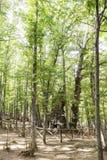 Sikt av in en gammal grön skog av kastanjebruna träd Royaltyfri Fotografi