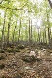 Sikt av in en gammal grön skog av kastanjebruna träd Arkivfoto