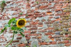 Sikt av en gammal tegelstenvägg med gröna växter och en solros fotografering för bildbyråer
