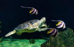 Sikt av en Loggerheadhavssköldpadda royaltyfri bild