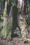 Sikt av ett dött redwoodträdträd arkivfoto