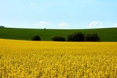 Sikt av ett gult fält av rapsfröt med grönt gräs och trädFN royaltyfri foto