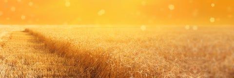 Sikt av fältet av råg med fasade stripbeveled remsor under plockning på solnedgången Åkerbruk lantlig bakgrund för sommar panoram royaltyfri fotografi