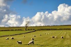 Sikt av får i den engelska bygden Royaltyfri Bild