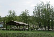 Sikt av f?r som betar i gr?set p? gr?na Rolling Hills, Lok Serbia royaltyfri foto