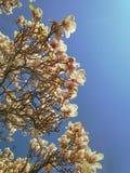 Sikt av härliga blommande vita magnoliaträdfilialer mot klar blå himmel arkivbild