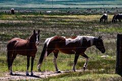 Sikt av hästar som betar på den Hunewill ranchen nära Bridgeport, Kalifornien i sen vår arkivbilder