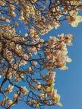 Sikt av h?rliga blommande vita magnoliatr?dfilialer mot klar bl? himmel royaltyfri bild