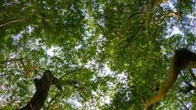 Sikt av himlen till och med kronan av stora tropiska träd