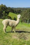 Sikt av Huacaya alpaca i en lantgård Arkivfoto