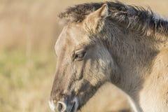 Sikt av huvudet av en beige häst arkivfoton