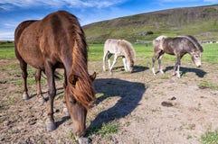 Sikt av isländska hästar som betar i icelandic bygd Arkivfoto