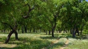 Sikt av korkträd inom en skuggig glänta utanför staden av El Chaparrito, nära Parquen naturliga de la Toppig bergskedja de Grazal arkivfoton