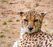 Sikt av kvinnliga en gepards huvud royaltyfria foton