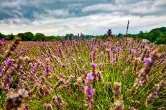 Sikt av lavendel på den Mayfield lavendellantgården Arkivfoton