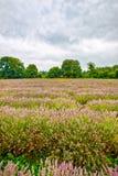Sikt av lavendel på den Mayfield lavendellantgården Arkivfoto