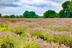 Sikt av lavendel på den Mayfield lavendellantgården Arkivbilder