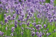 Sikt av lavendelblommor Royaltyfria Bilder