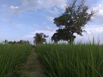 sikt av paddyfield i Malaysia Royaltyfri Bild