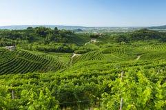 Sikt av Prosecco vingårdar från Valdobbiadene, Italien under summ Royaltyfri Foto
