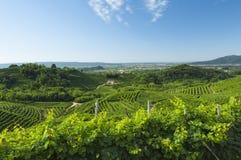 Sikt av Prosecco vingårdar från Valdobbiadene, Italien under summ Arkivfoton
