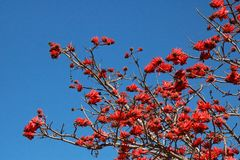 Sikt av röda blommor som blommar på ett Erythrina träd mot en blå himmel royaltyfri fotografi