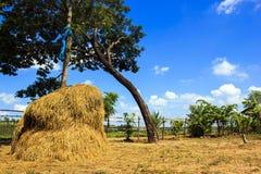 Sikt av risfältet med blå himmel i lantligt Royaltyfri Fotografi