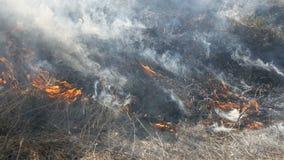 Sikt av ruskig farlig lös brand i dagen i fältet Brännande torrt sugrörgräs Ett stort område av naturen är in stock video