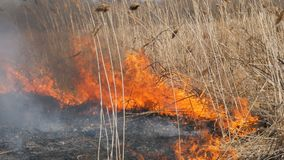 Sikt av ruskig farlig lös brand i dagen i fältet Brännande torrt sugrörgräs Ett stort område av naturen är in arkivfilmer