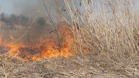 Sikt av ruskig farlig lös hög brand i dagen i fältet Brännande torrt sugrörgräs Ett stort område av naturen arkivfilmer