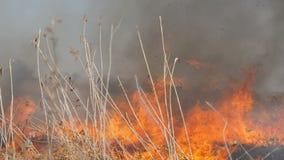 Sikt av ruskig farlig lös hög brand i dagen i fältet Brännande torrt sugrörgräs Ett stort område av naturen lager videofilmer
