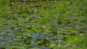 Sikt av slutet för sjö för våtmarkträskskog upp arkivfilmer