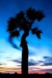 Sikt av sockerpalmträdkonturer och himmel med molnet royaltyfri foto